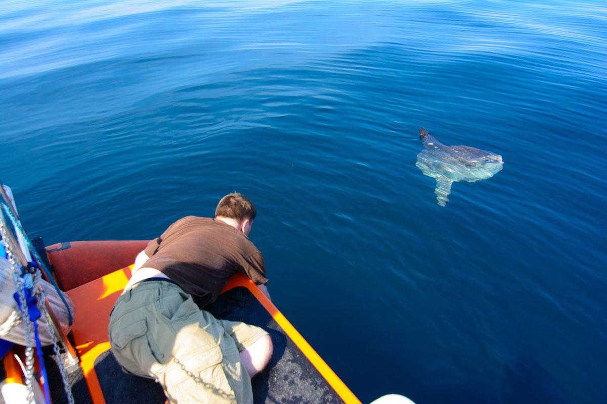 Basking shark scotland global shark diving return to operator world map gumiabroncs Choice Image